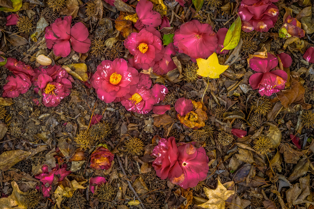 Fallen camellias blooms at the Huntington Library